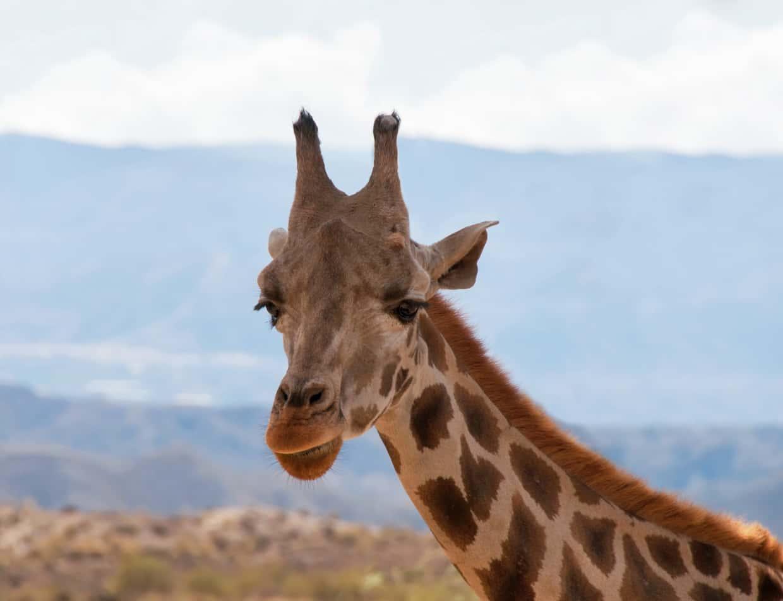 Giraffe at a zoo looking towards the camera